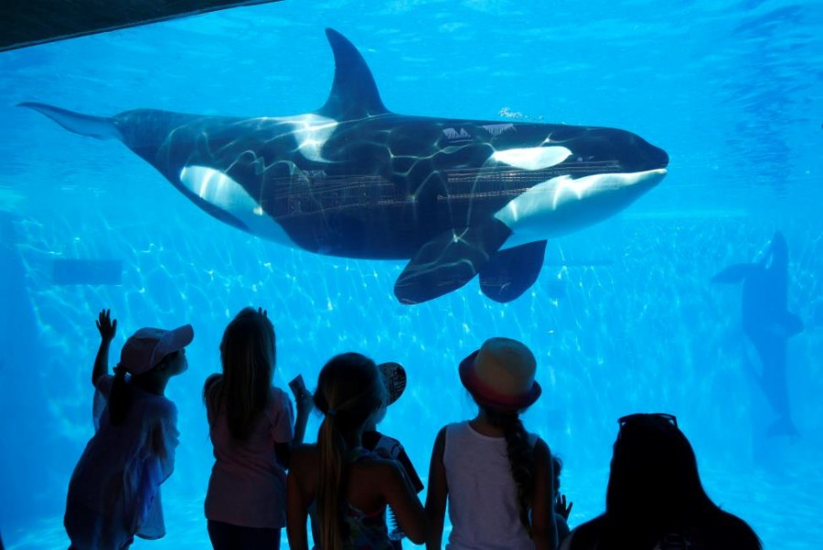 The spectacular killer whale show may not be featured at SeaWorld San Diego in the near future. (Photo credit: Fair Use)